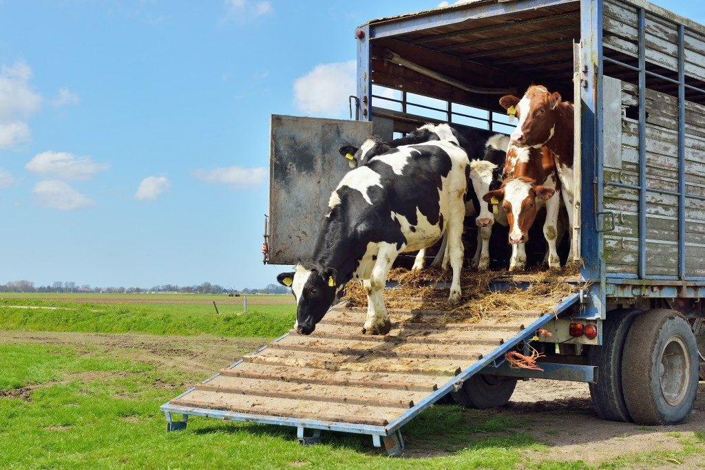 Cows in a transport truck