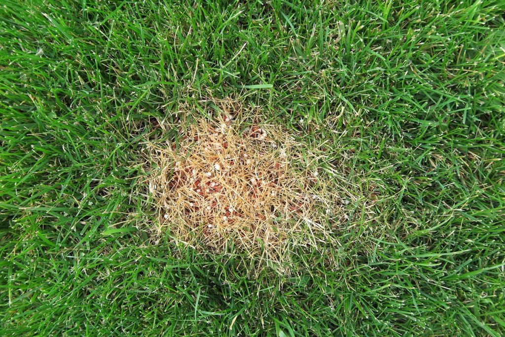 brown patch on a lawn